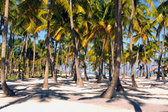 Palm trees along the caribbean sea Royalty Free Stock Photo