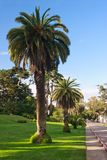 Palm trees along a street. In Park Presidio, San Francisco Royalty Free Stock Images