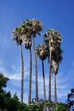 Palm trees. From Andalusia in Spain Royalty Free Stock Photos