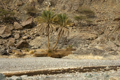 Palm trees in an arid Wadi. Palm trees and other plants adjusted to extreme conditions in an arid Wadi, Sultanate of Oman Stock Photos