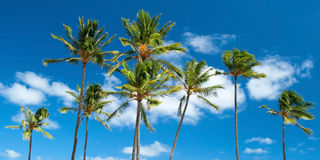 Palm trees with azure blue sky with clouds in background Stock Photo