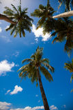 Palm trees on the background of a blue sky. Stock Photography