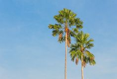 Palm trees on a background of blue sky. stock image