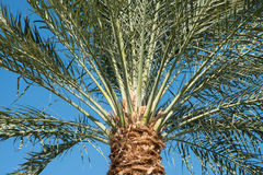 Palm trees background close-up. Palm leaf. Royalty Free Stock Photo