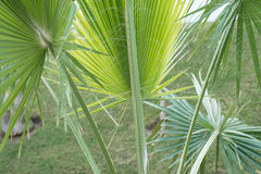Palm trees background close-up. Palm leaf. Royalty Free Stock Images