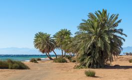 Palm trees on the background of the Red Sea and the high rocky mountains in Egypt stock images