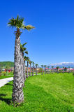 Palm trees on the background of snowy mountains in the Adler district of Sochi Stock Image