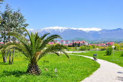 Palm trees on the background of snowy mountains in the Adler district of Sochi Stock Photos