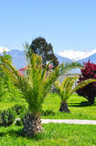 Palm trees on the background of snowy mountains in the Adler district of Sochi Royalty Free Stock Photography
