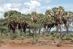 Palm trees on the banks of the Samburu River Stock Images