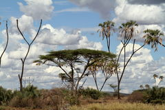 Palm trees on the banks of the Samburu River Stock Image
