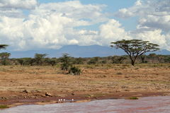 Palm trees on the banks of the Samburu River Stock Photos