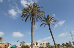Palm trees barcelona Royalty Free Stock Images