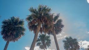 Palm Trees Basking in the Sun in the Sunshine State royalty free stock photo