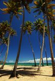 Palm trees on a beach. Coconut palm trees on a tropical beach. Puerto Rico, Central America. Caribbean Stock Image