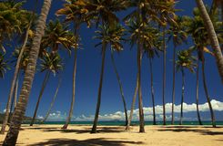 Palm trees on a beach. Coconut palm trees on a tropical beach. Puerto Rico, Central America. Caribbean Royalty Free Stock Images
