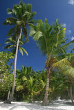 Palm Trees on Beach. Tropical Paradise - White Sands Beach, Caribbean Ocean and Coconut Palm Trees background suitable for a variety of traveling and advertising Royalty Free Stock Image