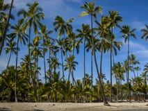 Palm trees on beach. Palm trees on coast of big island Hawaii, beach Stock Photo