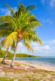 Palm trees on the Beach in FLorida Keys near Miami. With blue sky and ocean water in the background. Famous travel destination Royalty Free Stock Photos