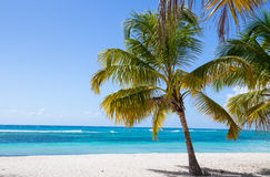 Palm trees on the beach of Isla Saona Stock Photos