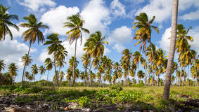 Palm trees on the beach of Isla Saona Royalty Free Stock Images