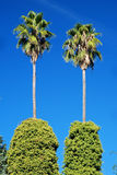 Palm trees with beautiful blue sky Royalty Free Stock Photo