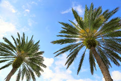 Palm Trees From Below Stock Photography
