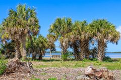 Palm Trees at Honeymoon Island stock images