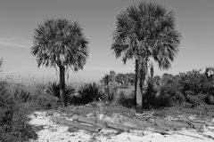 Palm trees in black and white Stock Images