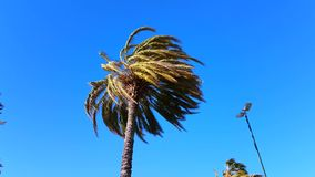Palm Trees Blow in Strong Wind stock video footage