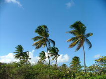 Palm Trees Blowing. A Tropical Caribbean breeze days after a storm Stock Photos