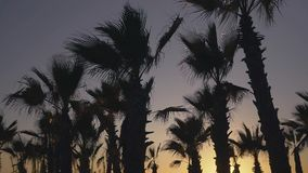 Palm trees blowing against the wind in sunset sky background. Palm trees blowing against the wind in the sunset sky background stock video footage