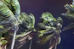 Free Palm Trees Blowing In The Wind During Hurricane Stock Images - 157873484
