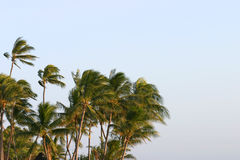 Palm Trees Blowing in the Wind. A photo of palm trees blowing in the wind in Hawaii Stock Image