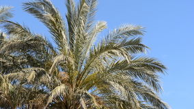Palm trees blowing in the wind. Blue sky stock video
