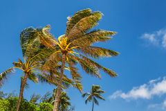 Palm trees blowing in the wind stock images