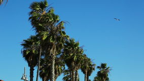 Palm Trees Blowing in the Wind. Wind is the most dramatic element in film. Wind blowing west coast palm trees at the beach stock footage