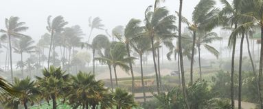 Palm trees blowing in the wind and rain as a hurricane nears