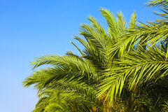 Palm trees and the blue sk. Y. Tropical background royalty free stock photography