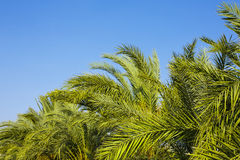 Palm trees and the blue sk. Y. Tropical background royalty free stock images