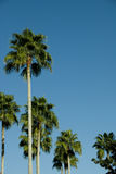 Palm trees blue skies. Grouping of palm trees against blue skies Stock Image