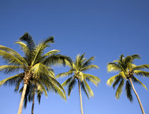 Palm trees in a blue sky Royalty Free Stock Images
