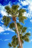 Palm trees on a blue sky Royalty Free Stock Image