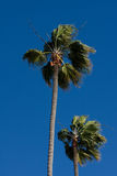 Palm trees and blue sky Stock Image