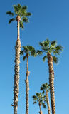 Palm Trees and Blue Sky. A group of California Fan Palm trees set against an intense blue sky. Only Palm trees and sky, no other objects Stock Photography
