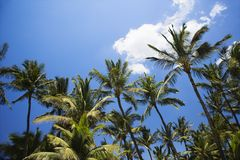 Palm trees and blue sky. Stock Image