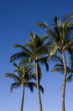 Palm Trees and Blue Sky. Palm trees against a cloudless blue sky Royalty Free Stock Photos