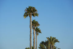 Palm Trees. On Blue Sky Stock Images