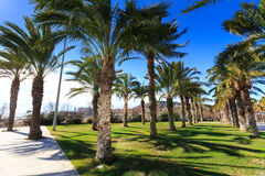 Palm Trees with blue sky background, Barcelona, Spain Stock Photography