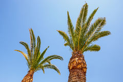 Palm trees on blue sky background Stock Images
